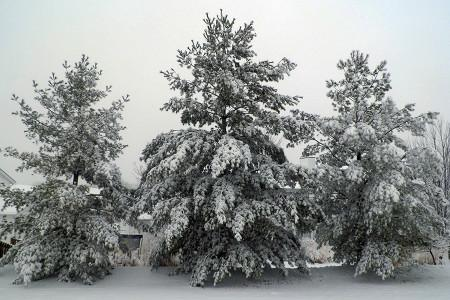 trees+covered+in+snow+taken+on+our+last+snowday%2C+Feb+4.