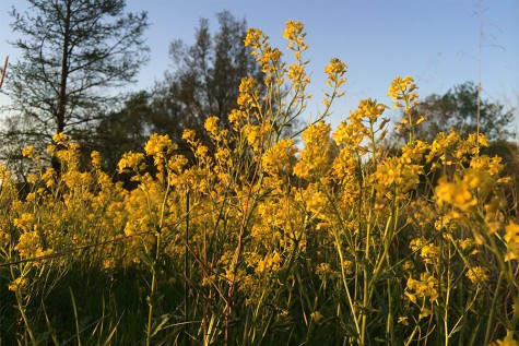 When I was on a nature walk about a week ago, I found a small field full of these yellow flowers. I couldn